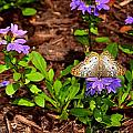 Butterfly On Flower  by Amy Lucid