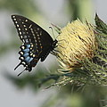 Butterfly On Thistle by Christiane Schulze Art And Photography