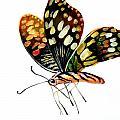 Butterfly by Rossi Zheng
