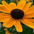 Butterscotch Daisy by Jeannie Rhode