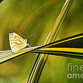 Cabbage Butterfly by Susie Peek