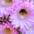 Cactus Flowers by Sara Gravely- Comstock