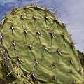 Cactus by Rhonda McDougall