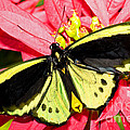 Cairns Birdwing Butterfly by Millard H. Sharp
