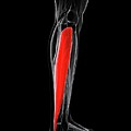 Calf Muscle by Sciepro/science Photo Library