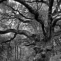 California Black Oak Tree by B Christopher