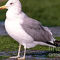California Gull by Anthony Mercieca