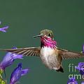 Calliope Hummingbird Stellula Calliope by Anthony Mercieca
