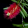 Callistemon Citrinus - Crimson Bottlebrush Hawaii by Sharon Mau