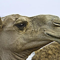 Camel by Brian Williamson
