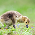Canada Goose by John Devries/science Photo Library