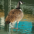 Canadian Goose by Alan Hutchins