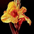 Canna Lilly In New Orleans by Michael Hoard