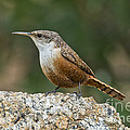 Canyon Wren by Anthony Mercieca