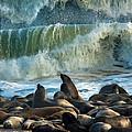 Cape Fur Seals Arctocephalus Pusillus by Panoramic Images