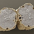 Caraway Fruit, Sem by Power And Syred