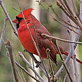 Cardinal 122 by Patsy Pratt