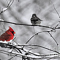 Cardinal In Winter by David Arment