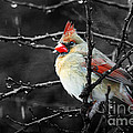 Cardinal On A Rainy Day by Trina  Ansel