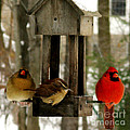 Cardinals And Carolina Wren by Patricia Januszkiewicz