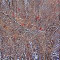 Cardinals Galore by PJQandFriends Photography