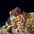 Caribbean Reef Octopus II by Matt Swinden