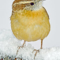 Carolina Wren In Winter by A Gurmankin