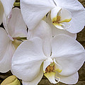 Cascade Of White Orchids by Julie Palencia