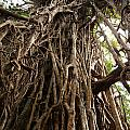 Cathedral Fig Tree by Carol Ailles