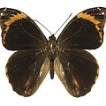Catoblepia Xanthus Butterfly by Science Photo Library