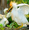 Cattle Egret With Young In Nest by Millard H. Sharp