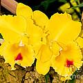 Cattleya Orchid by Millard H. Sharp