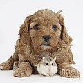 Cavapoo Puppy And Roborovski Hamster by Mark Taylor