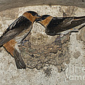 Cave Swallows by Anthony Mercieca