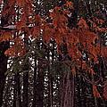 Cedar by Joanne Smoley