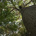 Ceiba Tree by Jess Kraft