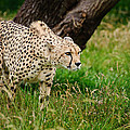 Cheetah Acinonyx Jubatus Big Cat  by Matthew Gibson