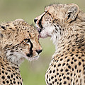 Cheetah Cubs Grooming Kenya by Tui De Roy