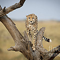 Cheetah by John Shaw