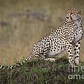 Cheetah On Termite Mound by John Shaw