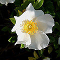 Cherokee Rose by Kim Pate