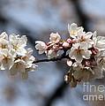 Cherry Blossom 3 by Brigitte Mueller