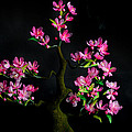 Cherry Blossom by Isabella Art Shop