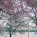 Cherry Blossom Trees by Mitch Cat