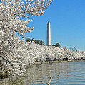 Cherry Blossoms by Dave Mills