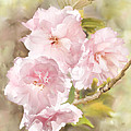 Cherry Blossoms by Francesa Miller