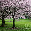 Cherry Blossoms by Gee Lyon