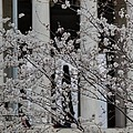 Cherry Blossoms With Jefferson Memorial - Washington Dc - 01131 by DC Photographer