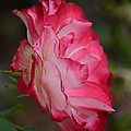 Cherry Cream Rose by Maria Urso