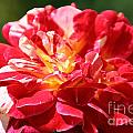 Cherry Petals by Susan Herber